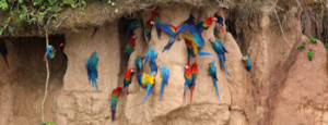 CHUNCHO MACAW-CLAY LICK 1 FULL DAY