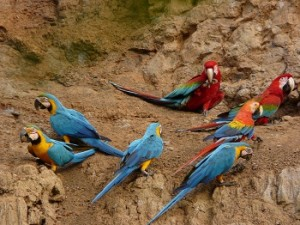 Tambopata Macaw Clay Lick 2 Days