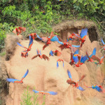 Tambopata Expeditions Macaw Clay Lick